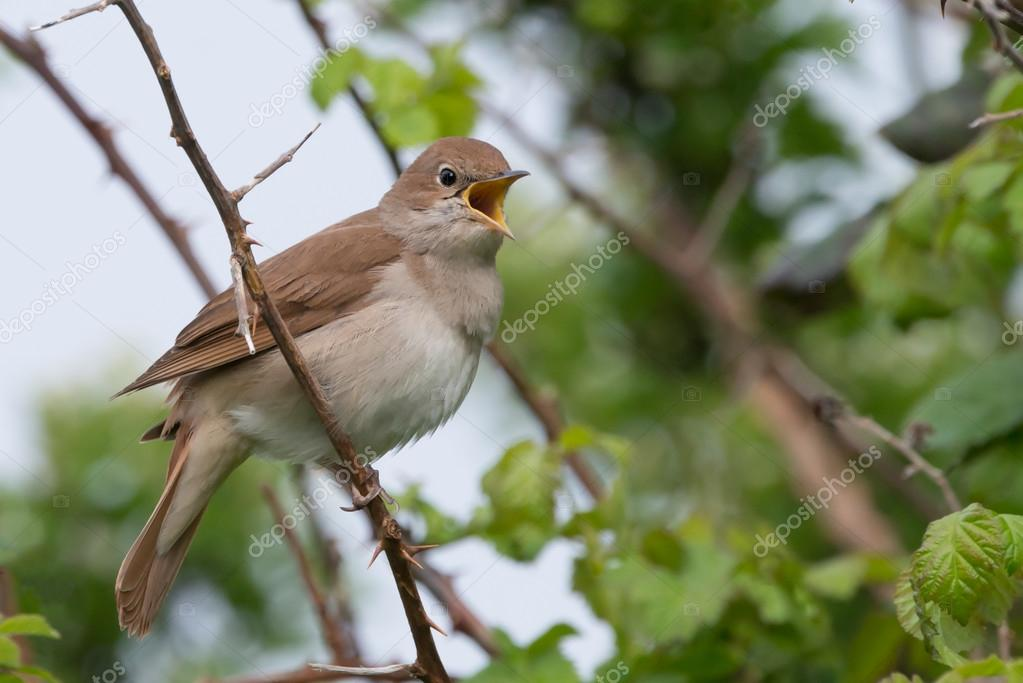 Nightingale singing at Pulborough brooks RSPB reserve