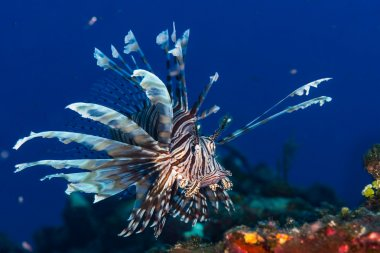 Lionfish in the Bahamas