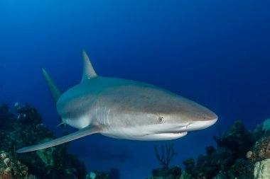 Caribbean reef shark swim over a coral reef in the Bahamas