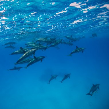 Dolphin group swimming