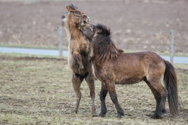 The Icelanders, Iceland horses, Iceland pony, Iceland, Pony, horse