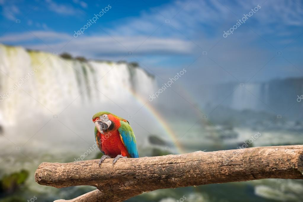 Close view of Macaw parrot  at the Cataratas waterfalls