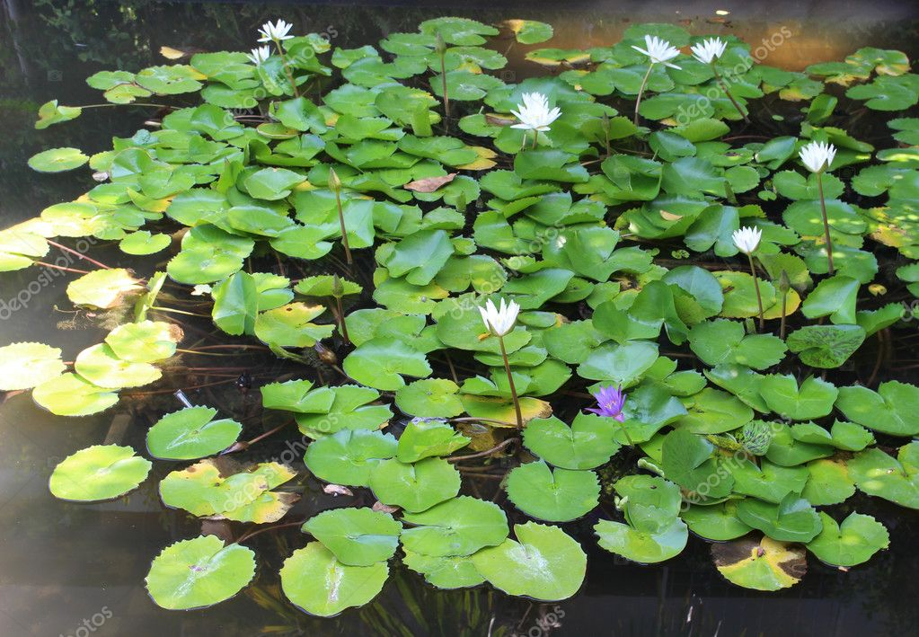 Many flowering lotus ponds and beautiful natural tears