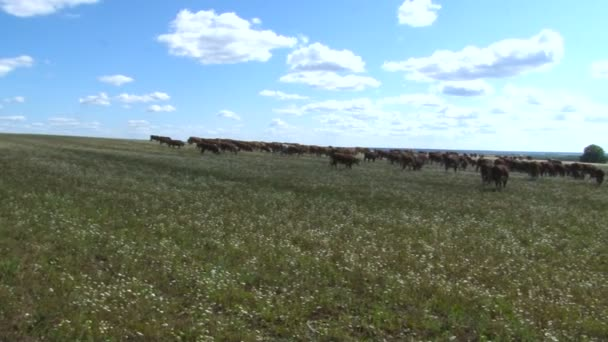 Cow Herd Grazing. Herd of Cows in the Distance. Cow in a Field. Livestock. Blue Sky and Clouds