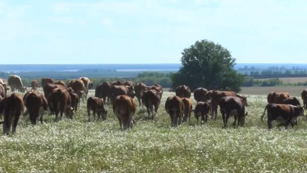 Coda di vacca. Mucche in un campo. Mandria di mucche pascolano. Bestiame. Cielo blu, giorno pieno di sole di estate