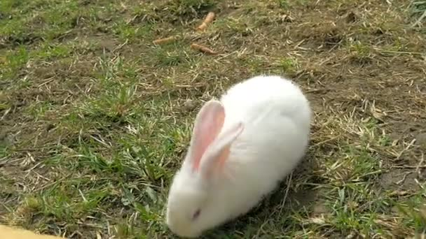 Young white rabbit eating grass