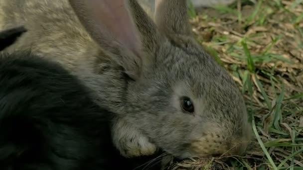 Mladý šedý králík jíst trávu