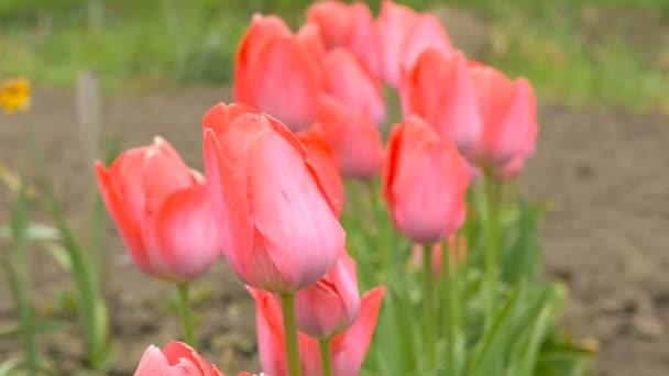 oblasti kvetoucí růžová barva tulipánů v zahradě
