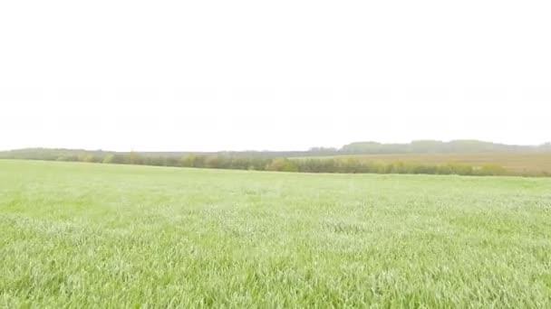 zakalená oblast zelená pšenice tráva vítr