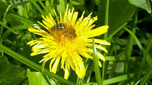 Bee pollen gyűjtése virág.