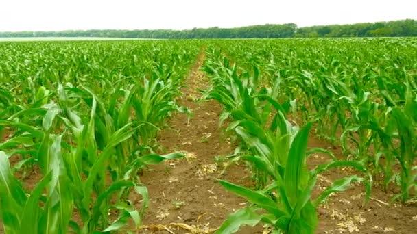 Posouvání záběr zelené pole kukuřice.