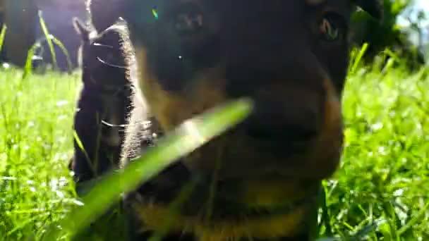 kříženec štěně na trávě