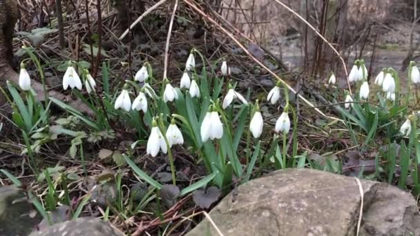Snowdrops swaying in the wind under the falling snow . Slow motion.