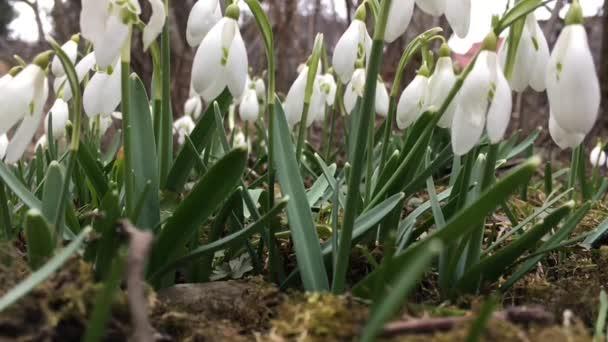 Hóvirág, imbolygott a szélben, esik a hó alatt. Lassú mozgás.