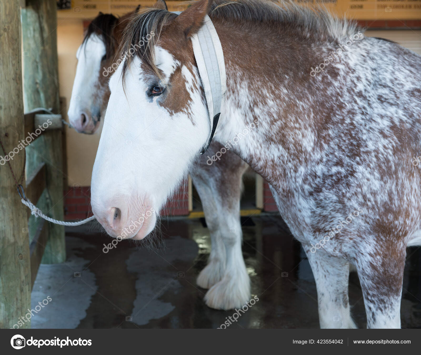 ᐈ Clydesdale Horses Stock Pictures Royalty Free Clydesdale Images Download On Depositphotos
