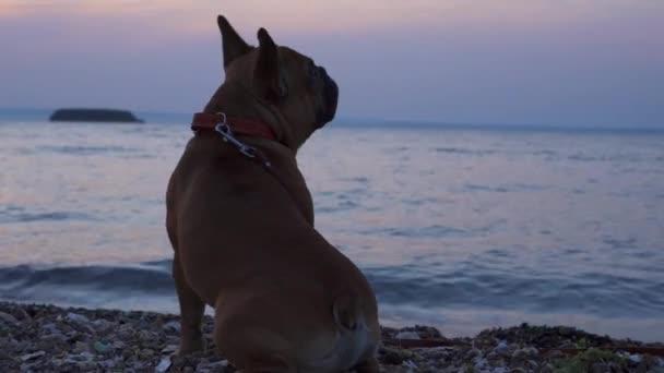 Szcenírozott romantikus naplemente közelkép kutya Francia bulldog ül a tengerparton néz elgondolkodóan repülő madár. Okos kiskutya sétál. Társbarát érzelmi elmerengő kutya. Háttal ül a kamerának.