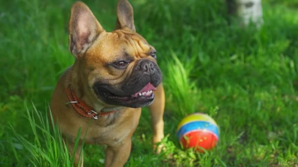 Gimbal mozgás vicces francia bulldok buldog aranyos fajtiszta kisállat áll mellett a játék labdát, és úgy néz ki, hogy oldalra. Séta a napos parkban zöld fű. Kutyaeledel reklám. Gyönyörű állatfilm. Pozitív