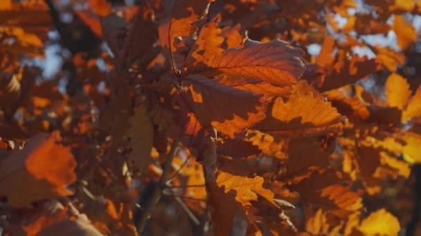 Gimbal close-up krásné hnědé podzimní listí duby větve podzim abstraktní les. Rostlina rostliny přírodní krajiny. Romantické poetické záběry pro váš film. Slunečné teplé světlo