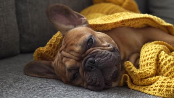 Közelkép francia bulldog aranyos kedvenc háziállat szájkosár, édes kutya hangulatos csomagolva meleg takaró és elalszik. Otthon maradt egyedül, és szunyókált, miközben a tulajdonos barátjára várt. Fürdés, kényelem