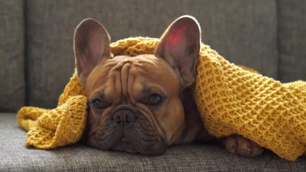 Gyönyörű kutya, francia bulldog fajtiszta hazugság a kanapén, meleg sárga takaróba csomagolva. Otthoni kényelem, nyugalom egyedül otthon, unatkozás a tulajdonosra várva. Odaadó tekintet. Hiányozni, odaadás.