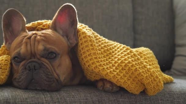 Vicces aranyos francia bulldog kutya nyuszifül fekszik csomagolva meleg sárga takaró kanapén otthon, és hiányzik a tulajdonos vár rá. Jó kutya. Abszurd tétlenség, karantén, tétlenség, alázat