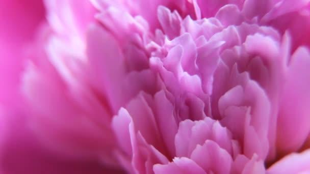 Video maker růžová Pivoňka květy