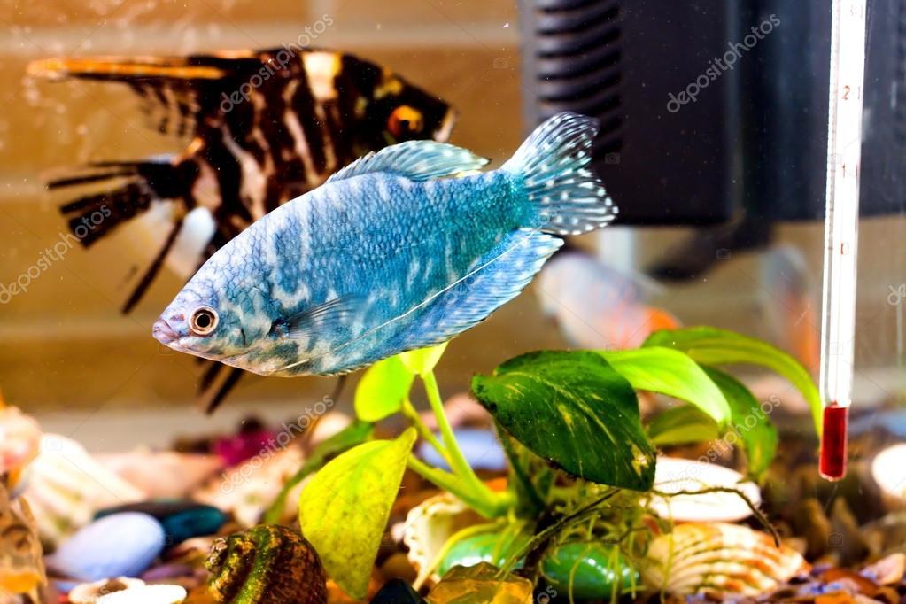 Swasser aquarium fische interesting babel fish wasser for Goldfisch rassen
