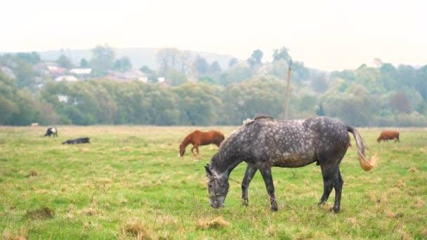Krásný šedý kůň pasoucí se na letním poli. Zelená pastvina s krmivem pro hřebce.