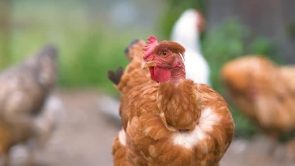 Closeup of domestic chicken feeding on traditional rural barnyard. Hens on barn yard in eco farm. Free range poultry farming concept.