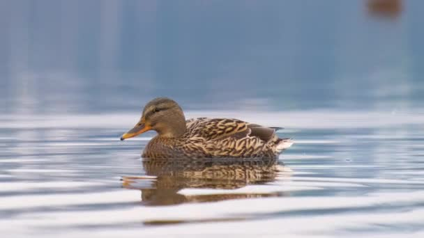 Wild duck swimming in clear lake water in summer park.