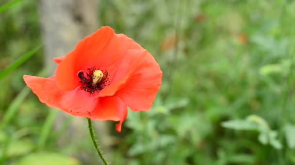 Red poppy, covered with dew, swinging in the breeze