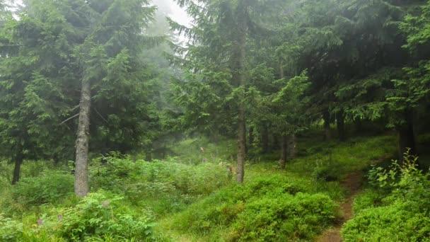 Mlžný den v jehličnatých lesů.