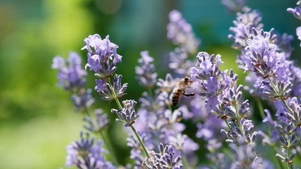 Méhecske levendulavirágon. A méh friss nektárt gyűjt a levendulavirágokból. Lassított felvétel. Növények méhek általi beporzása.