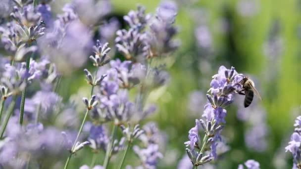 Medová včela na levandulové květině. Včela sbírá čerstvý nektar z levandulových květů. Zpomalené video. opylování rostlin včelami.