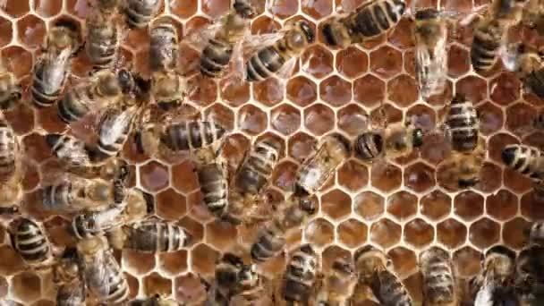 Bienen auf einer Wabe mit Honig. Bienen füllen Waben mit frischem Honig.