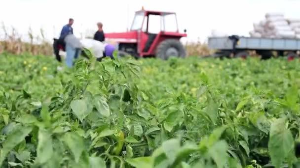 Zemědělští dělníci výdeje papriky