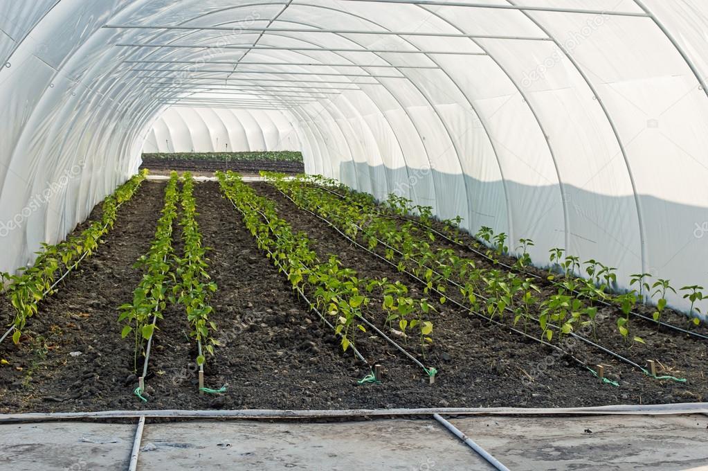 Irrigation goutte goutte de poivre des semis en serre photographie natasa m 117569732 - Irrigation goutte a goutte ...