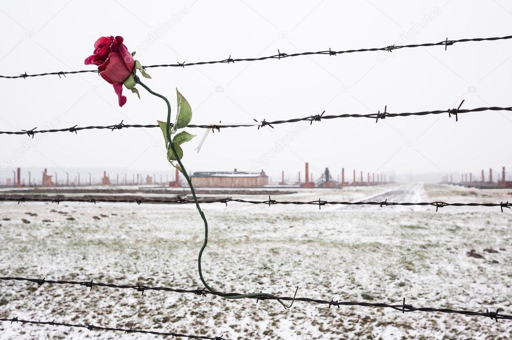 A rose on the Barbed Wire Fence – Stock Editorial Photo © hzparisien ...