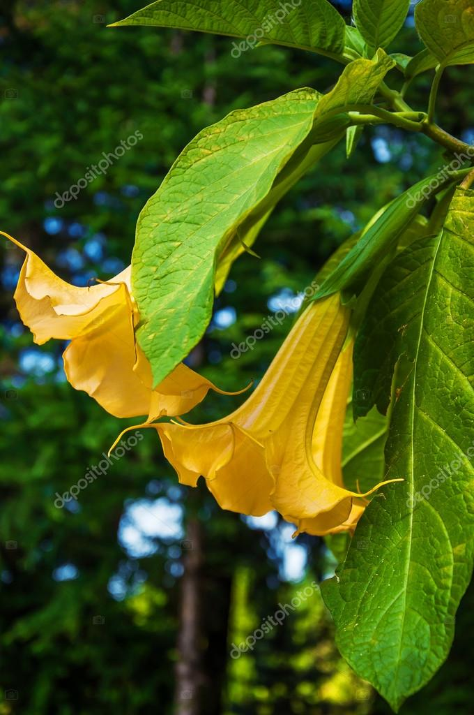 Big yellow Brugmansia called Angels Trumpets or Datura flowers