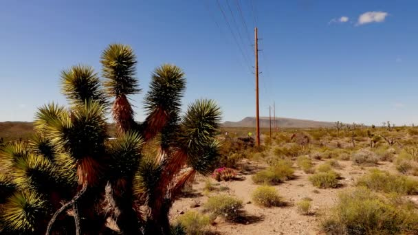 Cactus and joshua trees - the typical vegetation in Nevada desert. .