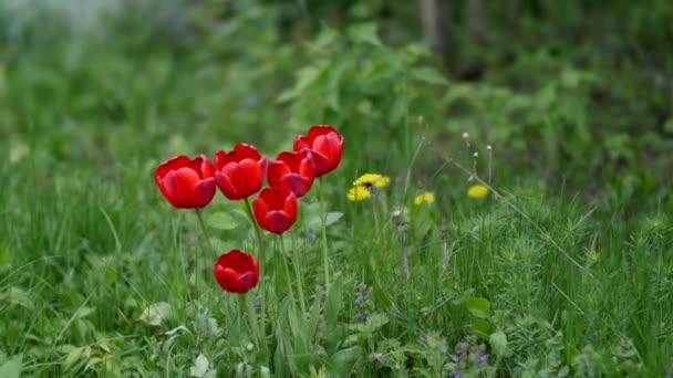 Červené tulipány s krásnou kytici pozadím. Tulipán. Krásnou kytici tulipánů. barevné tulipány. tulipány v jaro, barevné Tulipán s rozmazané pozadí
