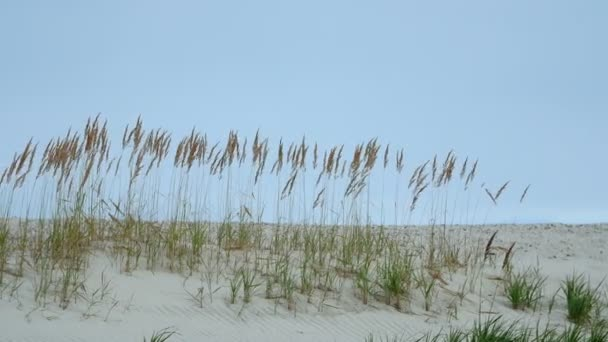 spikelets in the sands of summer