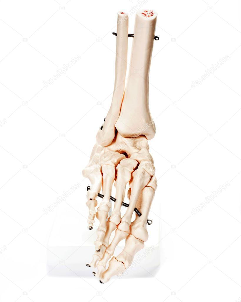 Fuss-Skelett auf weißem Hintergrund — Stockfoto © bjphotographs ...