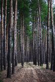 Pohádka jedle les. Borový les. Venkovské silnice lesem, který je v plné stromů. Les v noci. Stromy v zeleném lese.