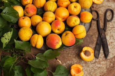 Freshly Picked Apricots. Organic Apricots in metal  table.  apricots in a crate