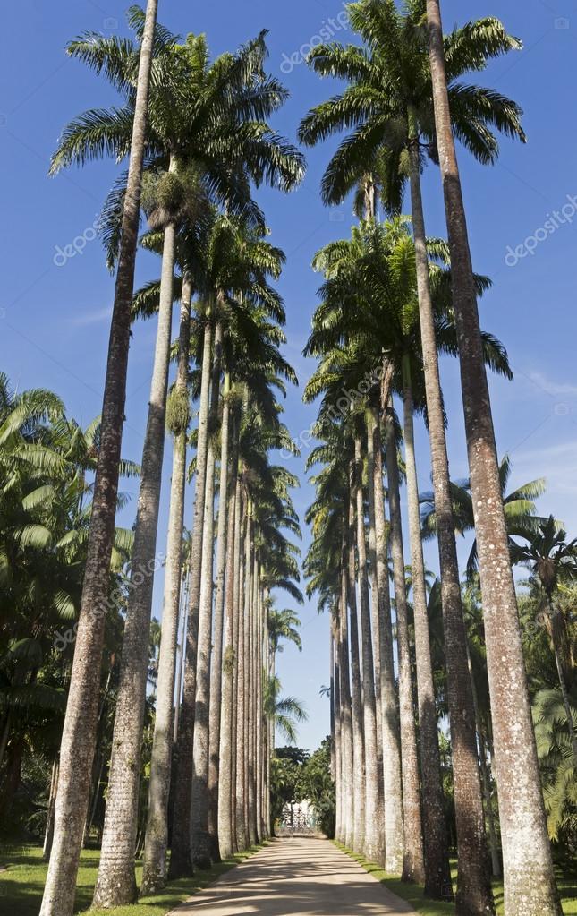 Royal Palm Trees at Botanical Garden in Rio de Janeiro