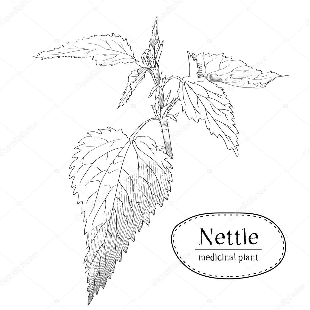 Sketch of a young branch of nettle. Medicinal and cosmetic. Vector illustration drawn by hand with a hatching in engraving style.  Isolated on white background