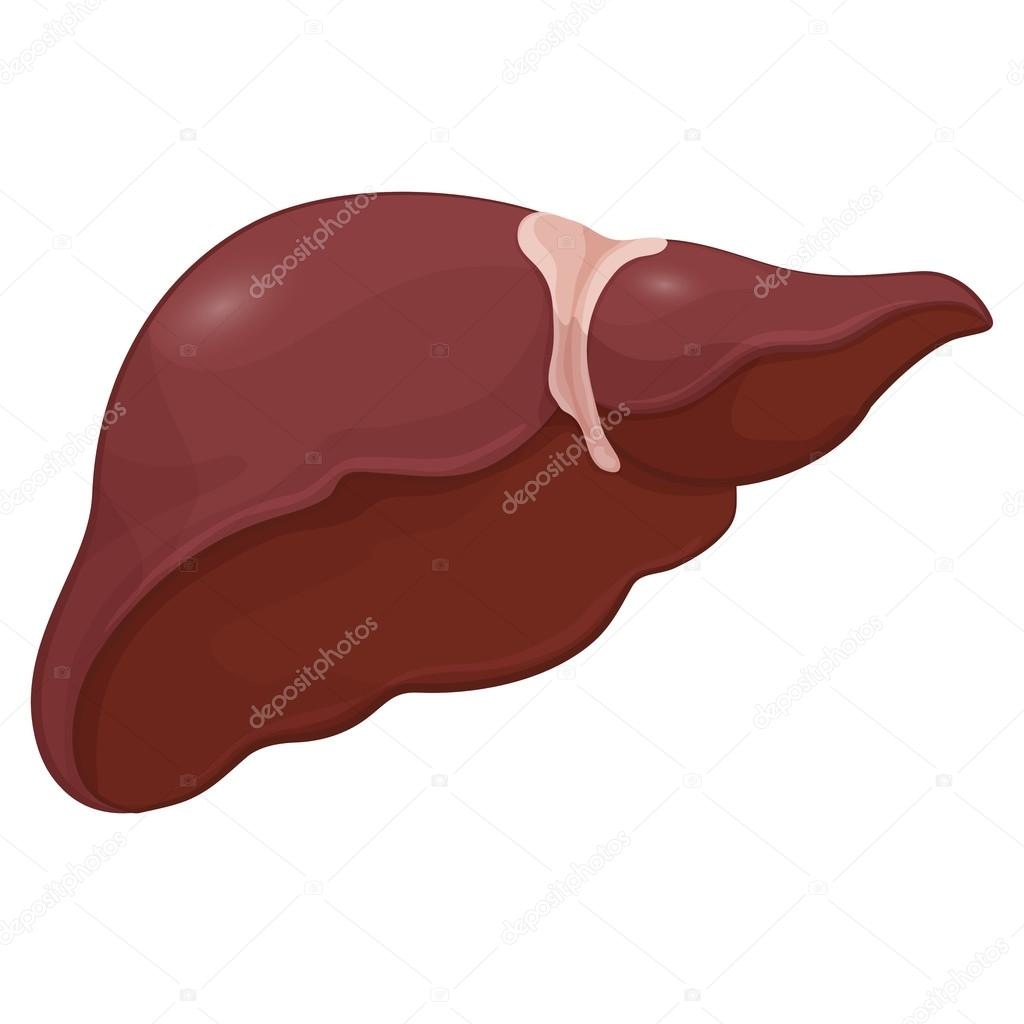 Ilustración de hígado humano en sistema digestivo. Modelo de volumen ...