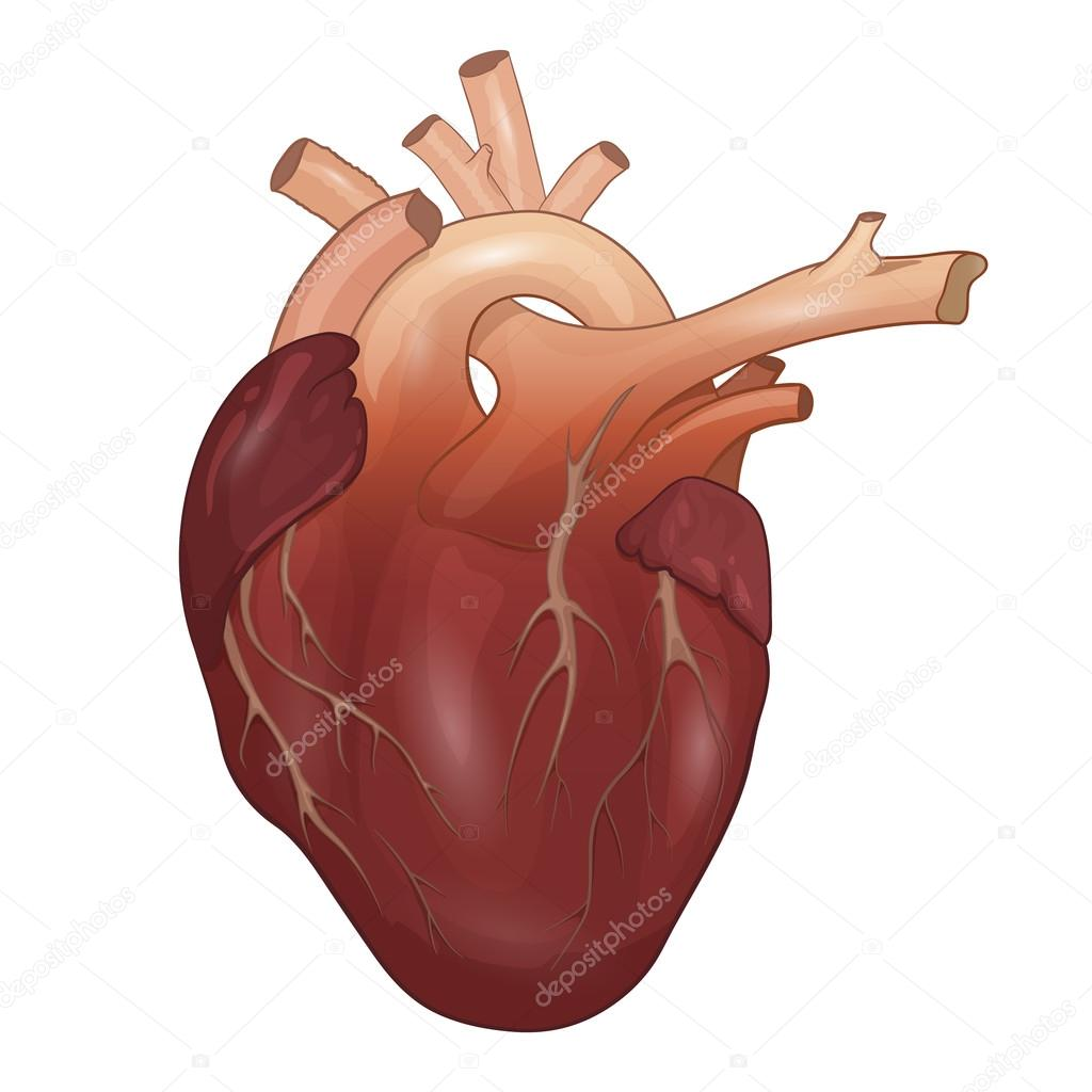 Anatomía del corazón humano aislado sobre fondo blanco. Ilustración ...