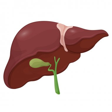 Illustration of human liver with gall bladder in digestive system. Volume body model. Vector